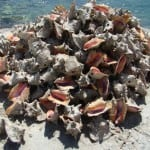 A pile of conch shells in Gregory Town.