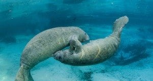 Manatees Return to South Florida Waterways