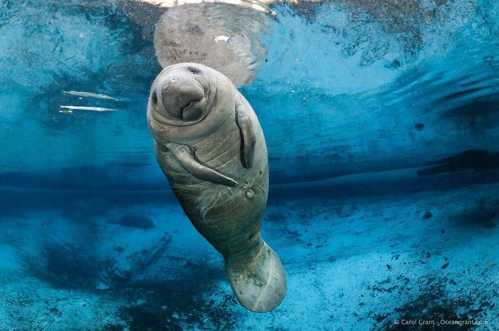 Manatees Return to South Florida Waterways