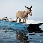 Sailors Mule