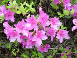 azaleas at Spring Flower Festivals