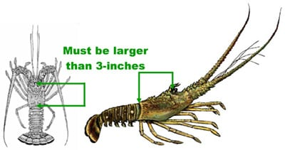 How to measure a spiny lobster