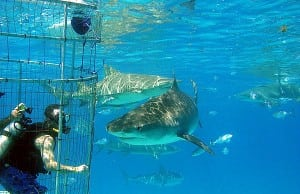 diving with sharks at bimini shark lab