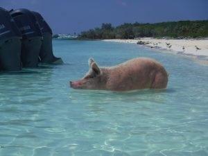 Pig Pics,exumas, big majors, staniel cay