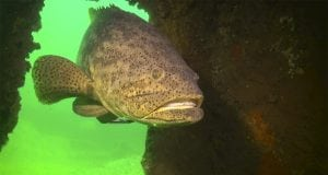 The giant grouper, Goliath Grouper, rebounded in Florida, fishing, recovered from overfishing