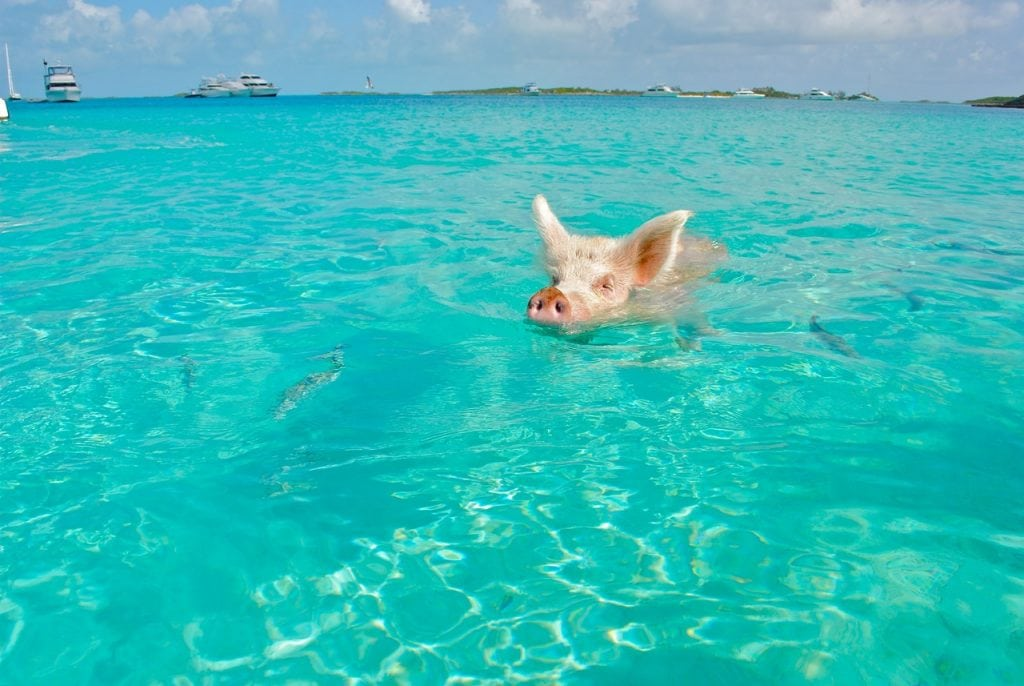 The Swimming Pigs in Big Majors Cay