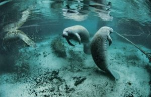 Endangered Florida manatee in Everglades National Park