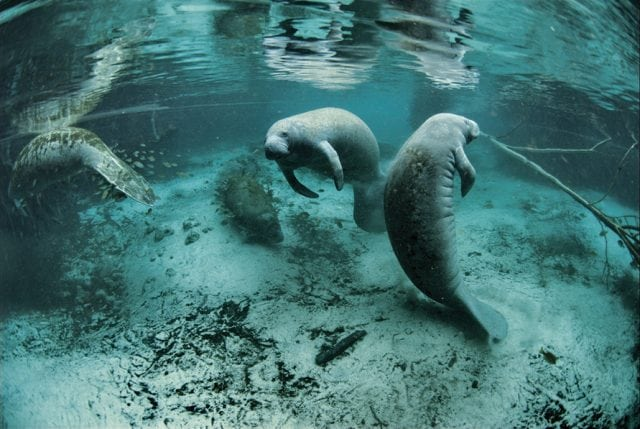 Endangered Florida manatee in Everglades National Park