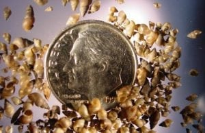 Mudsnails invasion in the Chesapeake, What is a mudsnail, snails, invasive species, threat to the Chesapeake,