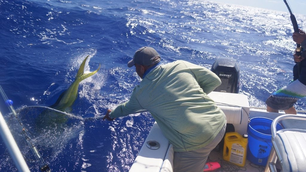 A man catching a mahi-mahi as part of the Caribbean's Dolphinfish tagging project