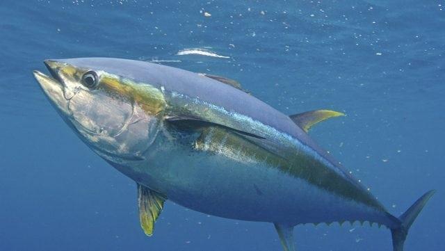 An image of a yellowfin tuna.