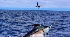 An image of a blue marlin, caught in a Sport Fishing Tournament in the Caribbean