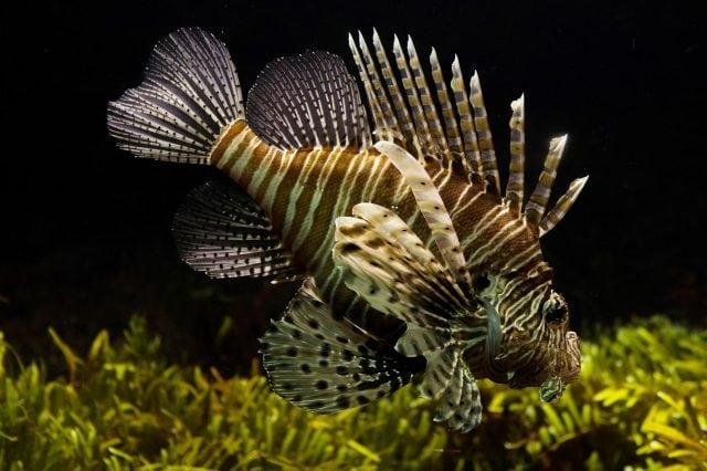 The Invasive Lionfish