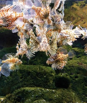an image Can we eradicate lionfish?