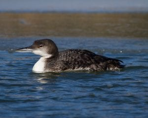 common loon birding in the northeast
