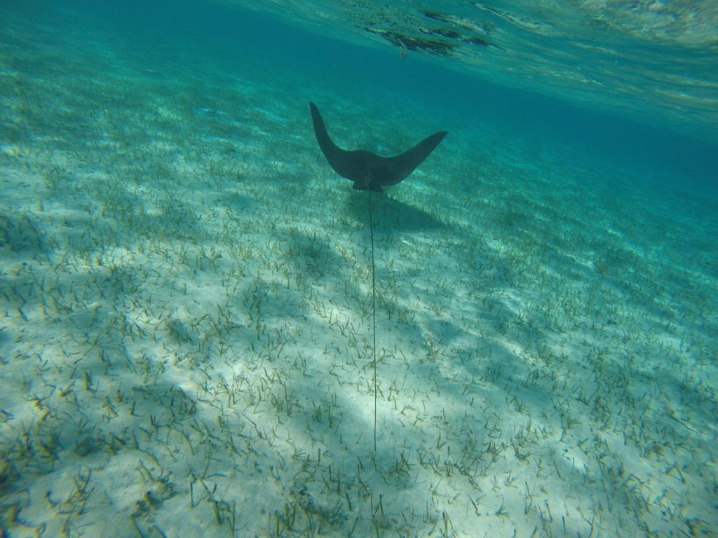 an image of a ray in the Southern Exumas