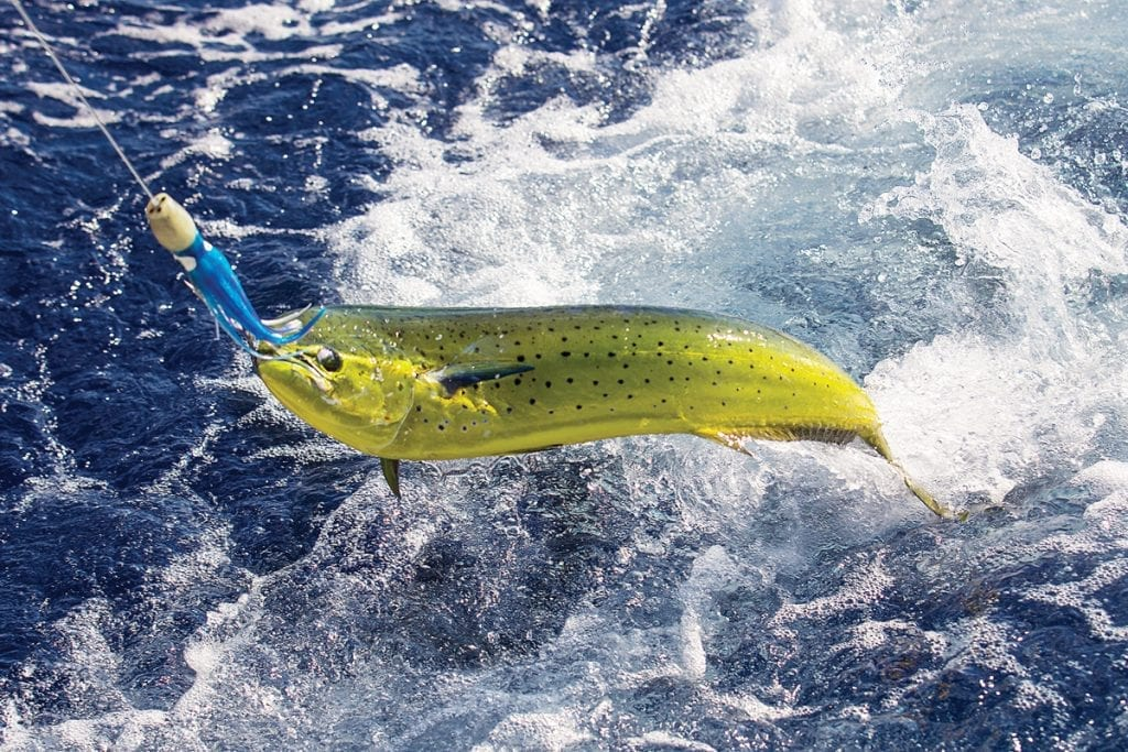 a mahi mahi on the hook.