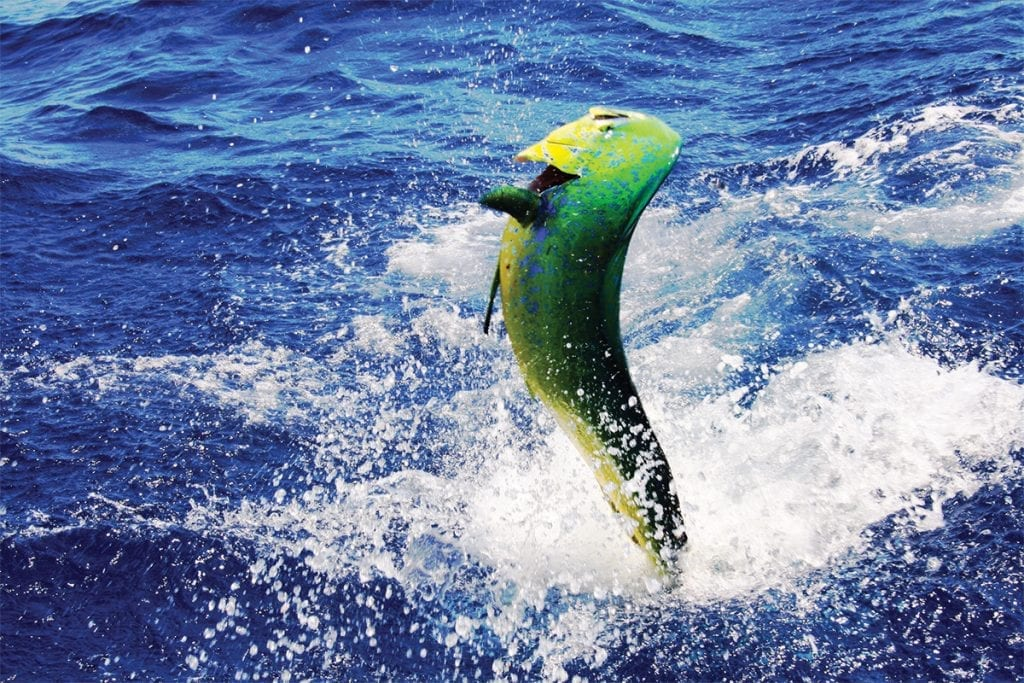 a mahi leaps in the air