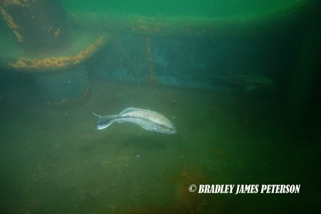 a black bass on an artificial reef in New York