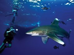 Oceanic White Tip Sharks