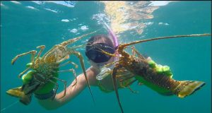 a woman diving during lobster mini season