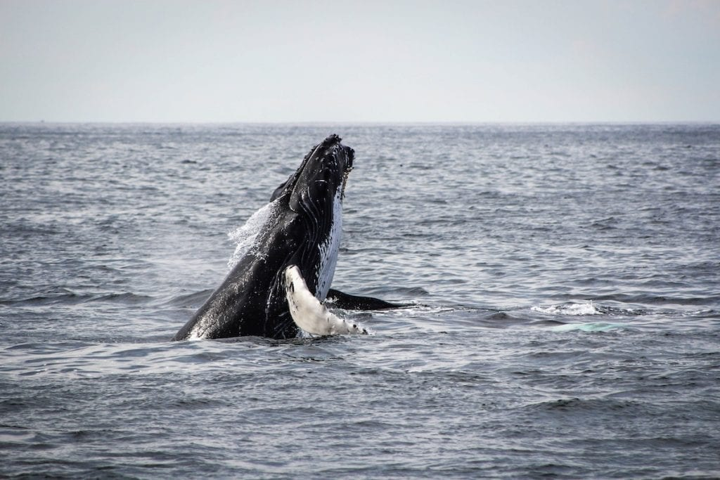 an image of a humpback whale breaching the waterline